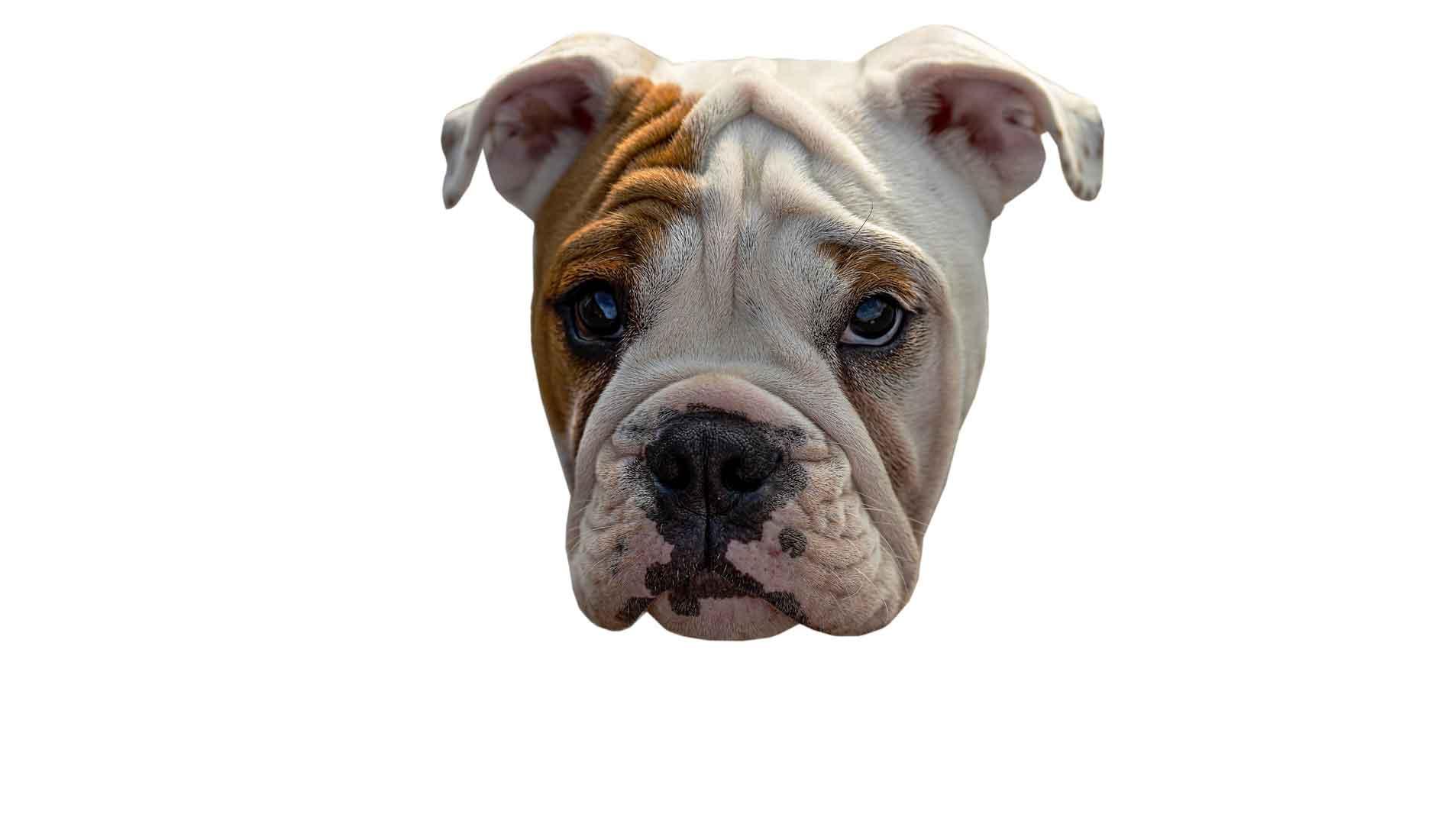 Wenn eine Bulldogge sich an dir aufgeilt